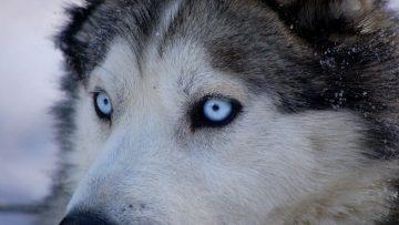 husky_