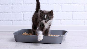 Small gray kitten in plastic litter cat on floor