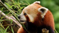 panda-3508153_1280