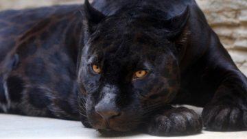 black-panther-3466399_1280