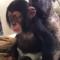 Malý šimpanz Limbani si hraje s pejskem