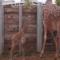 Sledujte roztomilé žirafky