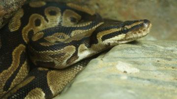 Royal,Python,Snake