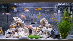 Aquarium,With,Cichlids,Fish,From,Lake,Malawi