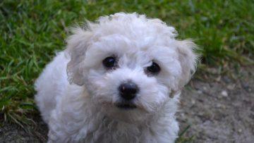 Cute,And,Curious,Bichon,Frisã©,Puppy.