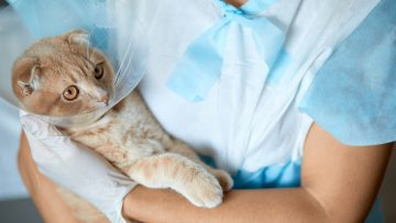 Female,Veterinarian,Doctor,Is,Holding,On,Her,Hands,A,Cat
