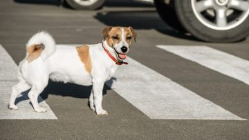 Jack,Russell,Terrier,Dog,On,The,Road