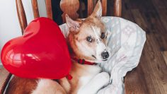 Cute,Puppy,With,Red,Heart.,Happy,Valentine's,Day,Concept.,Dog