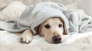 Bored,Young,Golden,Retriever,Dog,Under,Light,Gray,Plaid.,Pet