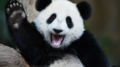 A,Playful,Happy,Panda,In,China