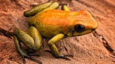 Poison,Arrow,Frog,Phyllobates,Bicolor,,A,Poisonous,Animal,From,The
