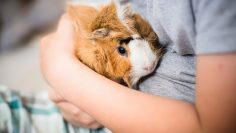 Guinea,Pig,In,Hands,Of,Child.,Pet's,Muzzle,Close-up.,Child