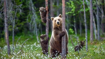 She-bear,And,Bear,Cubs,In,The,Summer,Forest,On,The