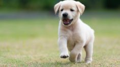 Happy,Puppy,Dog,Running,On,Playground,Green,Yard