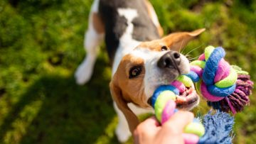 Dog,Beagle,Pulls,Toy,And,Tug-of-war,Game.,Dog,Themed,Background