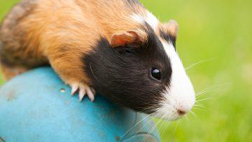 Guinea,Pig,Pet,Balancing,On,The,Ball