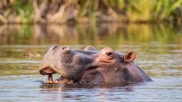 Hippo,In,A,River,In,The,Caprivi,Strip,,Namibia