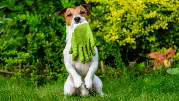 Dog,Holding,In,Mouth,Gardening,Gloves,Sitting,On,Hind,Paws