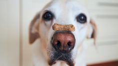 Close-up,View,Of,Funny,Dog.,Labrador,Retriever,Balancing,Biscuit,With