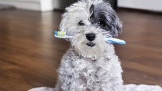 White,Poodle,Dog,With,A,Toothbrush,In,The,Mouth