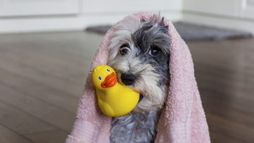 Cute,Dog,With,Pink,Towel,And,Yellow,Rubber,Duck,Ready