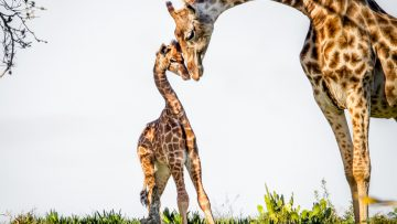 Gentle,Moment,Between,A,Mother,Giraffe,And,Her,Baby.,Game
