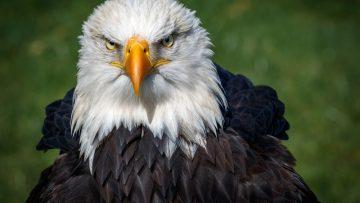 Bald,Eagle